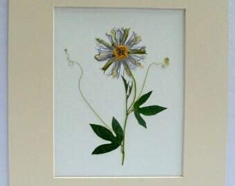 Real Pressed Passiflora Passion Flower Maypop Vine Botanical Herbarium  Art 11 x 14  with Mat