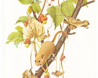 Hazel dormouse original 1965 zoology print - Mouse, natural history, wall decor - 50 years old book plate illustration (B091)