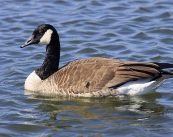 Canada Goose, goose, geese, bird, Nature, photo, print, photography, wall art, home decor