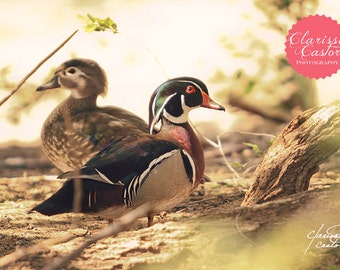 "Wood Ducks Photographic Print, ""Redamancy"""