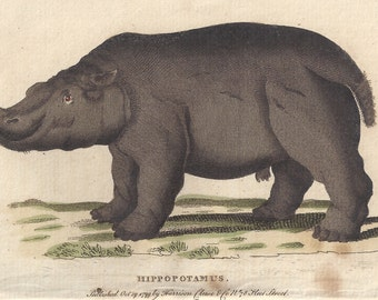 Hippotamus - Antique English 18th century animal engraving, 1799.