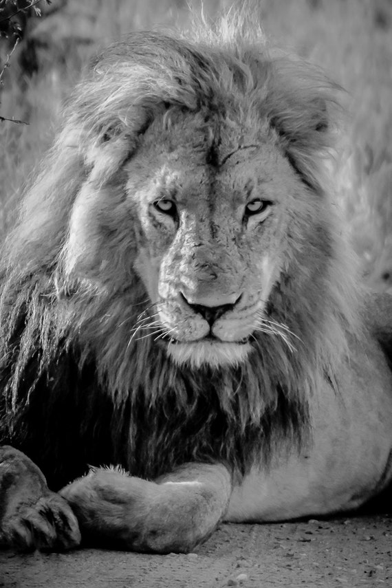 Lion Art Black And White Photography Wildlife By