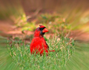 A Cardinal out for a stroll