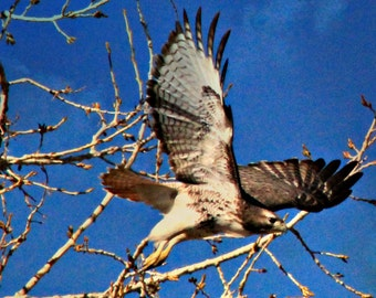 I got busted...this Red-Tail Hawk is on the move
