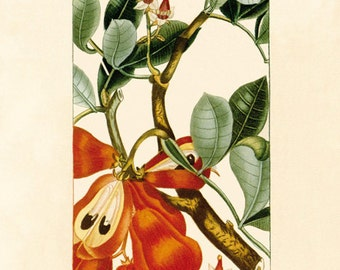 Ackee (Akéesie d'Afrique) - - reproduction of an old botanical illustration