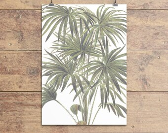 Cabbage-tree Palm botanical vintage illustration print