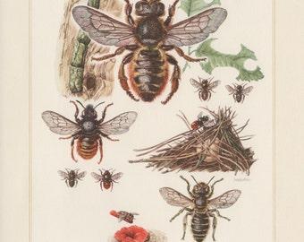 1961 Bees Illustration, Insects Print, Vintage Lithograph, Apidae Entomology, Megachile centuncularis, Osmia bicolor, Osmia papaveris, Biene