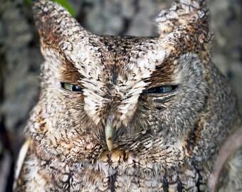 Eastern screech owl - Owl Photography - Wall Art