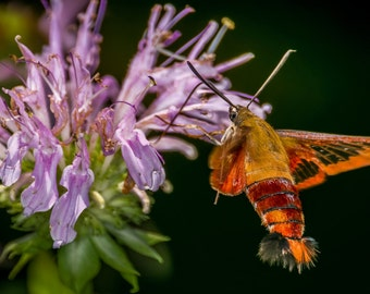 Digital Download: Hummingbird Clearwing Moth photo