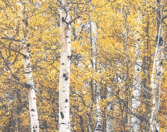 "quaking aspen, trees, leaves, fall leaves, yellow leaves, large art, large wall art, nature, landscape, dreamy, calming - ""Quaking Aspens"""