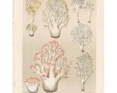 Antique 1895 mushroom print by CHARLES PECK, Plate 39, botanical, fungi, vintage chromolithograh print