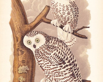 1890 Audubon Bird Print - Snowy Owl - Vintage Antique Book Plate Natural Science History Great for Framing 100 Years Old