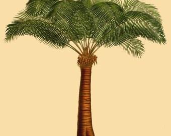 antique french victorian botanical print queen sago palm illustration digital download