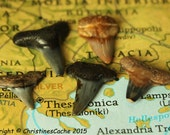 5 Handpicked Large Fossil Shark Teeth -  Grade A  Tooth ancient Paleocene fossils - for WIre Wrapping Jewelry-  5-FST