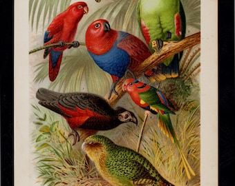 1893 MACAW Antique print, lovely multicolored parrots in the jungle forest