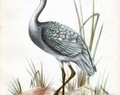 Brolga bird print, Australian birds print, bird decor, vintage bird print