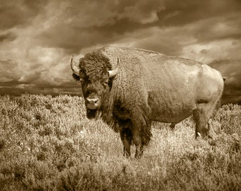 American Buffalo in Yellowstone National Park in Sepia Tone a Bison Icon Portrait No.SP3586 a Western Wildlife Animal Photograph