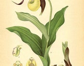 YELLOW LADY'S SLIPPER Orchid - Botanical book plate 419