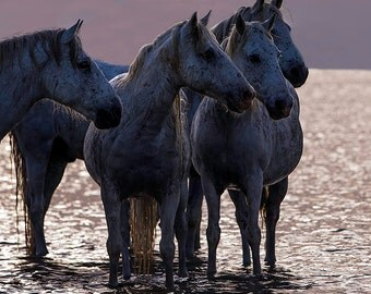 Four Sunset Friends - Fine Art Horse Photograph - Horse - Camargue - Fine Art Print