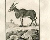 1811 Animal Print Le Canna Original Antique Copper Engraving from Buffon Natural History, Ungulates