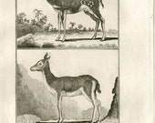 1811 African Antelopes Antique Copper Engraving Le Bosbok & Le Bitbok, Bushbuck, Authentic 200 Years Old Print , Buffon