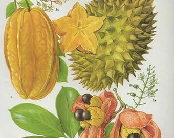 Vintage Botanical Print Antique TROPICAL FRUITS, plant print botanical print, bookplate art print, carambola durian fruit plants plant wall