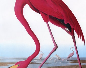 John James Audubon Reproductions - Birds of America, American Flamingo, 1827-1835. Fine Art Print.