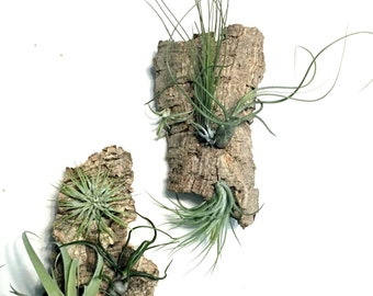 Air Plant Vertical Garden Set:  Air Plant Holders, Air Plant Wall Hangs, Bark Planters