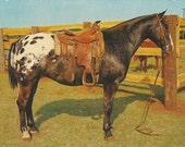 Grand Champ Appy - Vintage 1960s Appaloosa Horse Postcard