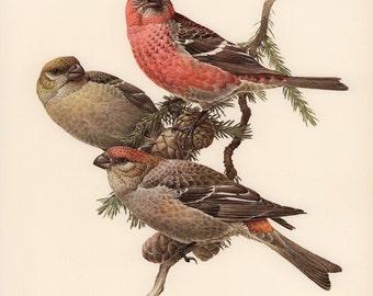 JF Lansdowne Print Book Plate Art, Pine Grosbeak