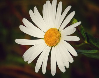 Daisy Print, Daisy Photo, Daisy, Daisy Picture, Yellow Daisy Print, Yellow Daisy Photo