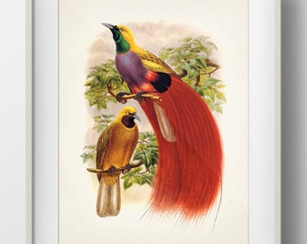 Goldie's Bird of Paradise (Paradisaea decora) -BP-10 - Fine art print of a vintage natural history antique illustration