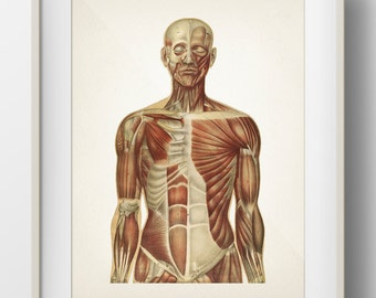 Human Anatomy MUSCLE System - HU-06 - Fine art prints of a vintage medical anatomical illustrations