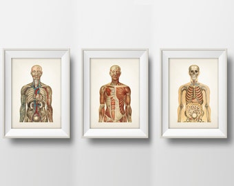 Human Anatomy Wall Art Set of Three - Fine art prints of a vintage scientific medical anatomical illustrations