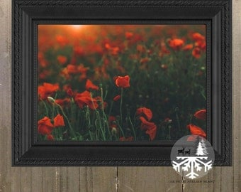 Coquelicots at Sunrise - Poppies, Poppy, Red, Green, Orange, Field of Poppies, France, Coastal France, Nord-pas-de-Calais