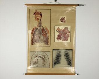 Vintage anatomy pull down chart: respiratory system