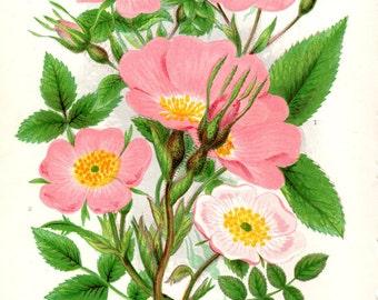 1896 Matted Vintage Botanical Print Roses Rose Anne Pratt Vintage Flower Home Decor  Antique Botanical Print