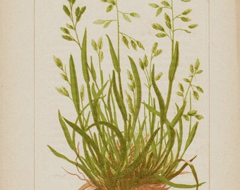 1885 Medicinal plants antique print, botanical print of annual meadow grass, annual bluegrass or simply poa