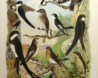 1922 Lithograph with differents species of BIRDS , vintage antique swallows and martins print, wallcreeper engraving, passerine ornithology.