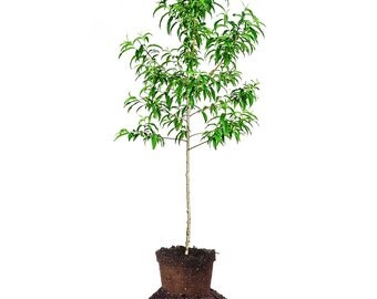 Santa Rosa Plum Tree