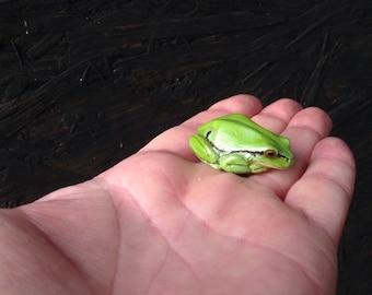 Tree frog, Hyla arborea, memo refrigerator magnet