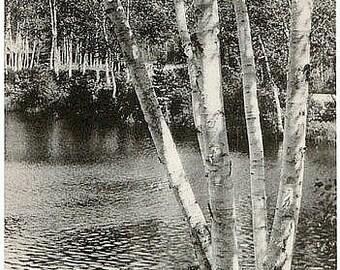 Vintage New Hampshire Postcard - Lakeside Birches at Lake Winnipesaukee (Unused)