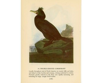 1950 CORMORANT BIRD PRINT - bird lithograph - double crested cormorant original vintage bird print - with european cormorant on reverse side