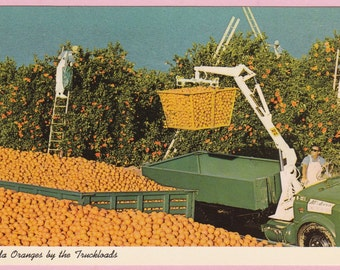 "Ca. 1960's ""Harvesting Oranges"" in Florida Topographical Picture Postcard - 733"