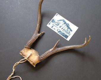 Vintage deer antlers, antler decor, taxidermy decor, lodge decor, farmhouse, rustic decor.