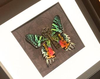 Framed Moth, Real framed butterflies, Sunset Moth, Butterfly shadowbox, Mounted moth art, Moth print, Real Butterfly Art, Pinned Butterfly