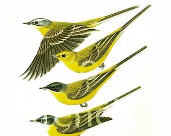 1961 Western Yellow Wagtail, vintage Bird Print, Ornithology, Natural history, nature wall art