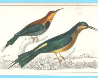 Antique birds (bee-eaters?)  illustration
