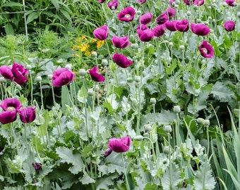 Papaver Somniferum - 200 Seeds - Laurens Grape Poppy