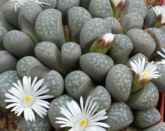 Lithops Marmorata - 15 Seeds - Living Stones Succulent Mesembryanthemum